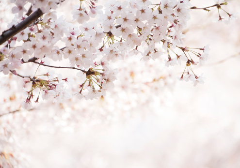 Cherry Blossoms「Cherry Blossoms」:スマホ壁紙(16)