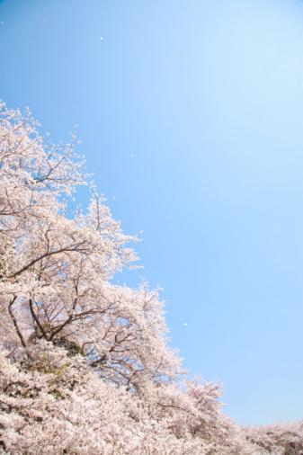Cherry Blossom「Cherry blossoms」:スマホ壁紙(14)