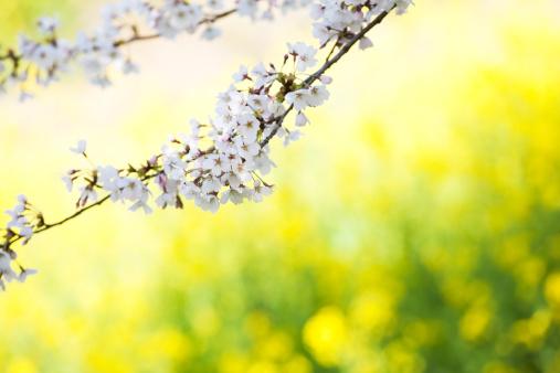 アブラナ「桜の花」:スマホ壁紙(0)