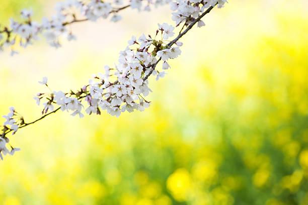 Cherry Blossoms:スマホ壁紙(壁紙.com)