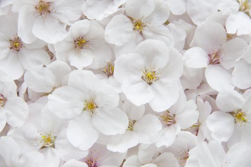 桜「Cherry blossoms」:スマホ壁紙(17)