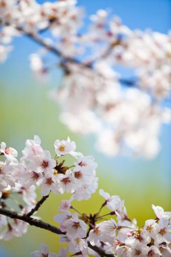 Cherry Blossom「桜の花」:スマホ壁紙(11)