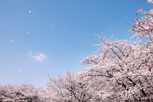 桜「Cherry blossoms」:スマホ壁紙(12)