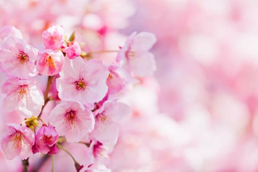 桜の花「桜の花」:スマホ壁紙(15)