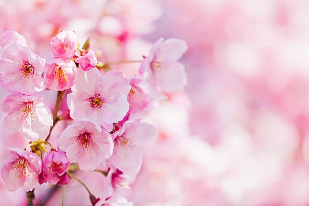 桜の花:スマホ壁紙(壁紙.com)