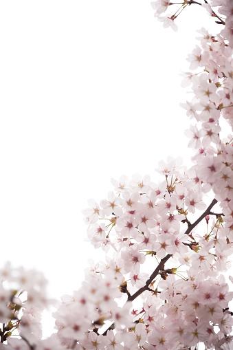 桜の花「桜の花」:スマホ壁紙(17)