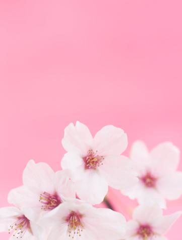 桜「桜の花」:スマホ壁紙(1)