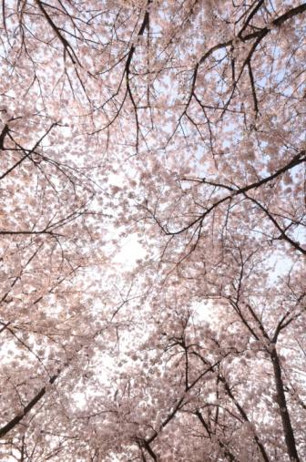 桜「Cherry Blossoms」:スマホ壁紙(7)