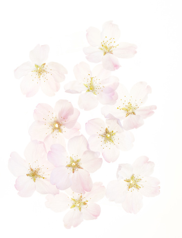 Cherry Blossoms「Cherry Blossoms」:スマホ壁紙(15)