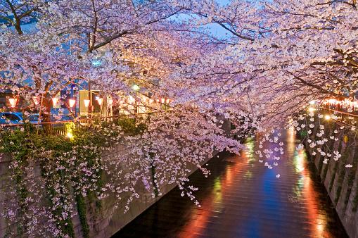 桜「Cherry blossom in the evening at Meguro river」:スマホ壁紙(13)