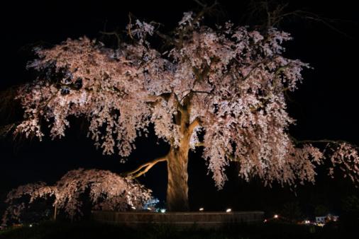 夜桜「Cherry blossom tree at twilight」:スマホ壁紙(0)