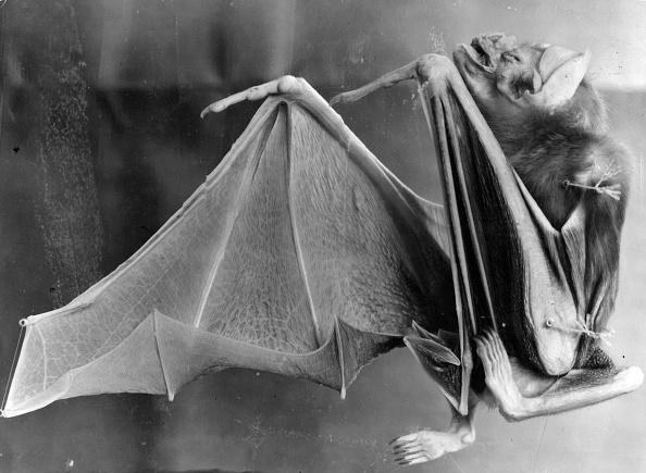 動物「Vampire Bat」:写真・画像(1)[壁紙.com]