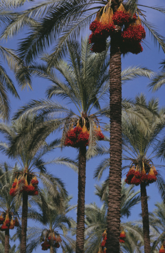 Gaza Strip「Dates on palm trees, low angle view」:スマホ壁紙(4)