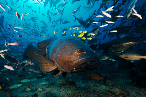 School of Fish「A school of Golden Trevally follow a Giant Grouper for protection during a shark feed.」:スマホ壁紙(16)