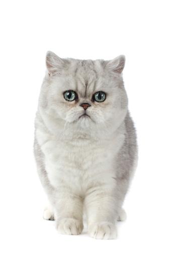 ショートヘア種の猫「Exotic short hair」:スマホ壁紙(15)