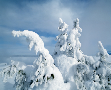 Drooping「Snow-covered lodgepole pines trees against a blue sky, Yellowstone National Park, Wyoming, USA」:スマホ壁紙(9)