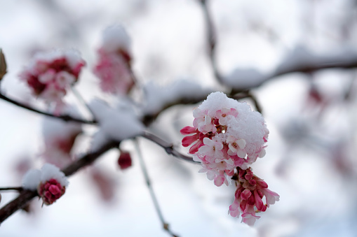 Inflorescence「Snow-covered blossoming snowball tree, close-up」:スマホ壁紙(9)