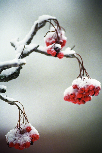 Rowanberry「Snow-covered Rowanberries」:スマホ壁紙(7)