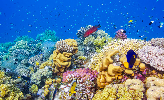 Coral「Sea life on beautiful coral reef with lot of tropical Fish in Red Sea - Marsa Alam - Egypt」:スマホ壁紙(12)