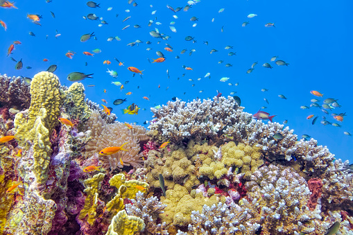 Soft Coral「Sea life on beautiful coral reef with lot of tropical Fish in Red Sea - Marsa Alam - Egypt」:スマホ壁紙(13)