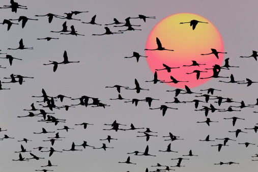 Flock Of Birds「Greater Flamingos in flight at sunset」:スマホ壁紙(9)