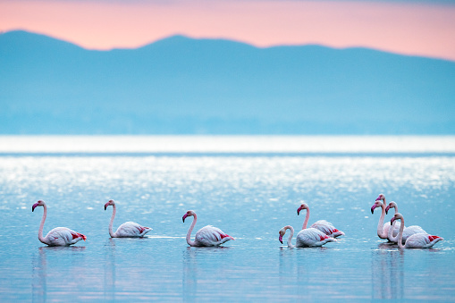 Showing Off「Greater flamingos in Thermaic Gulf at sunrise」:スマホ壁紙(18)