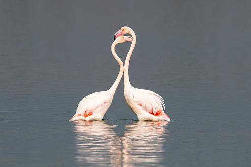 Couple「Greater flamingos interacting」:スマホ壁紙(12)