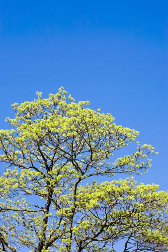 セイヨウカジカエデ「Sycamore maple (Acer pseudoplatanus), spring」:スマホ壁紙(6)