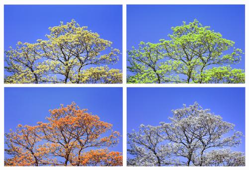 春「Sycamore maple in four seasons (digital composite)」:スマホ壁紙(7)