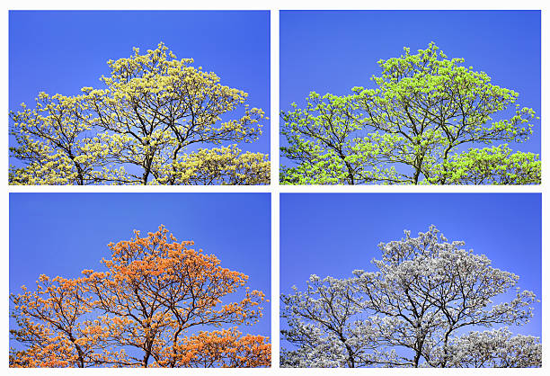 Sycamore maple in four seasons (digital composite):スマホ壁紙(壁紙.com)