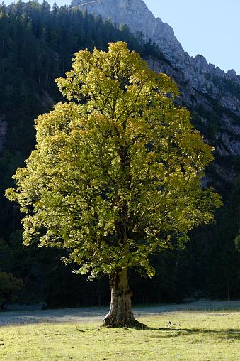 セイヨウカジカエデ「Sycamore Maple, Acer pseudoplatanus」:スマホ壁紙(19)