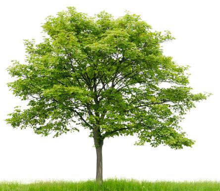 セイヨウカジカエデ「Sycamore メープル(エイサー pseudoplatanus )meadow 絶縁 on_whiteます。」:スマホ壁紙(4)