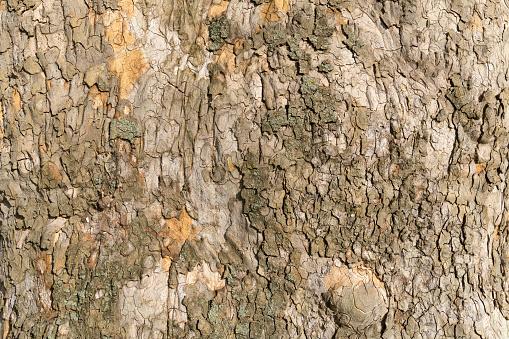 セイヨウカジカエデ「Sycamore maple tree bark」:スマホ壁紙(7)