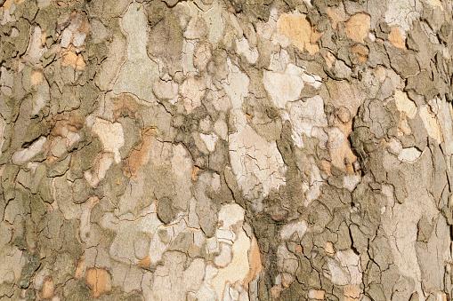 セイヨウカジカエデ「Sycamore maple tree bark」:スマホ壁紙(17)
