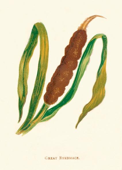 葉・植物「Great Reedmace, c1891, (1891)」:写真・画像(0)[壁紙.com]