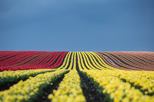 チューリップ「Germany, Magdeburg Boerde, tulip fields in front of blue sky」:スマホ壁紙(16)