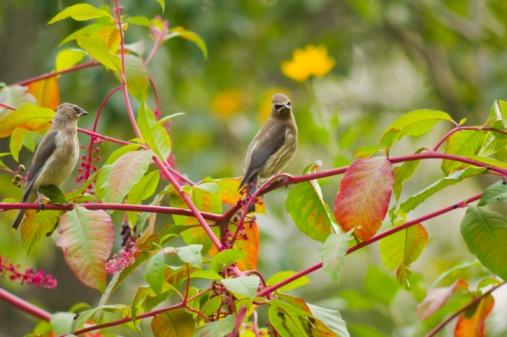 Cedar Waxwing「Cedar Waxwings (Bombycilla Cedrorum) In A Poke Root Berry Bush」:スマホ壁紙(5)
