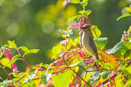 Cedar Waxwing「Cedar waxwing (bombycilla cedrorum) and poke berries on a tree」:スマホ壁紙(7)