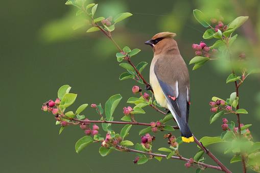 Cedar Waxwing「Cedar Waxwing (Bombycilla cedrorum) perching on branch」:スマホ壁紙(1)