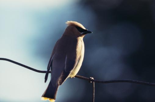 Cedar Waxwing「Cedar waxwing bird perched on wire」:スマホ壁紙(11)