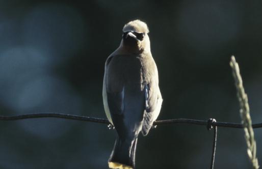 Cedar Waxwing「Cedar waxwing bird perched on wire of fence」:スマホ壁紙(12)