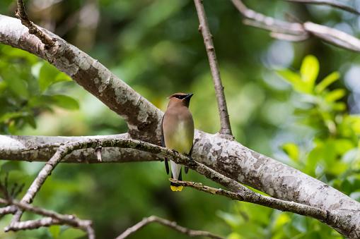 Waxwing「A Cedar Waxwing (Bombycilla Cedrorum) Perches On A Willow Tree」:スマホ壁紙(10)