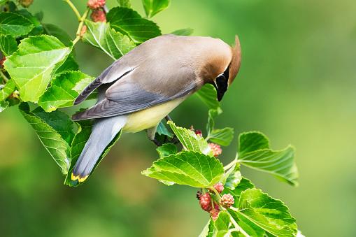 Cedar Waxwing「Cedar waxwing in mulberry tree」:スマホ壁紙(6)