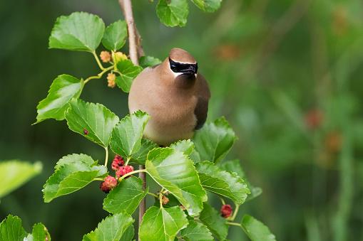 Cedar Waxwing「Cedar waxwing in mulberry tree」:スマホ壁紙(7)