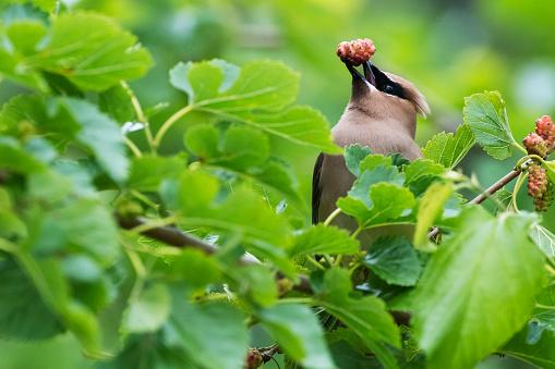 Cedar Waxwing「Cedar waxwing with mulberry」:スマホ壁紙(5)