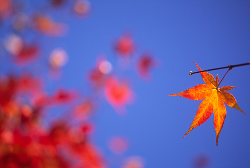 Japanese Maple「Autumn Survival Leaf」:スマホ壁紙(17)