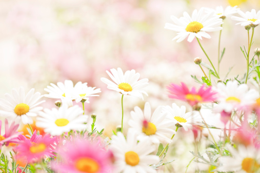 春「デイジーの花」:スマホ壁紙(11)