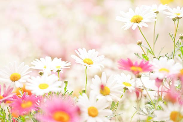 デイジーの花:スマホ壁紙(壁紙.com)