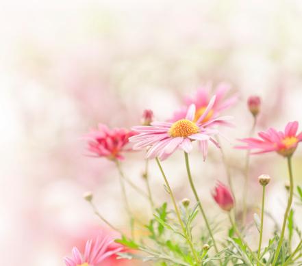 Marguerite - Daisy「Daisy flowers」:スマホ壁紙(18)