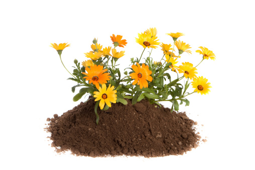 Planting「Daisy Flowers Planted in Dirt Isolated on White Background」:スマホ壁紙(2)